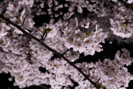 sakura-nogawa2015-chofu