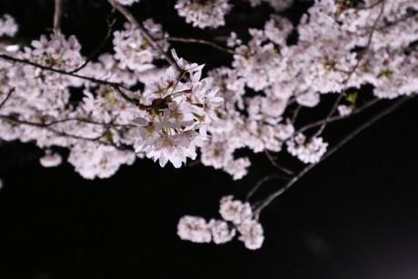 sakura-nogawa2015-chofu01