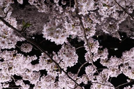 sakura-nogawa2015-chofu02