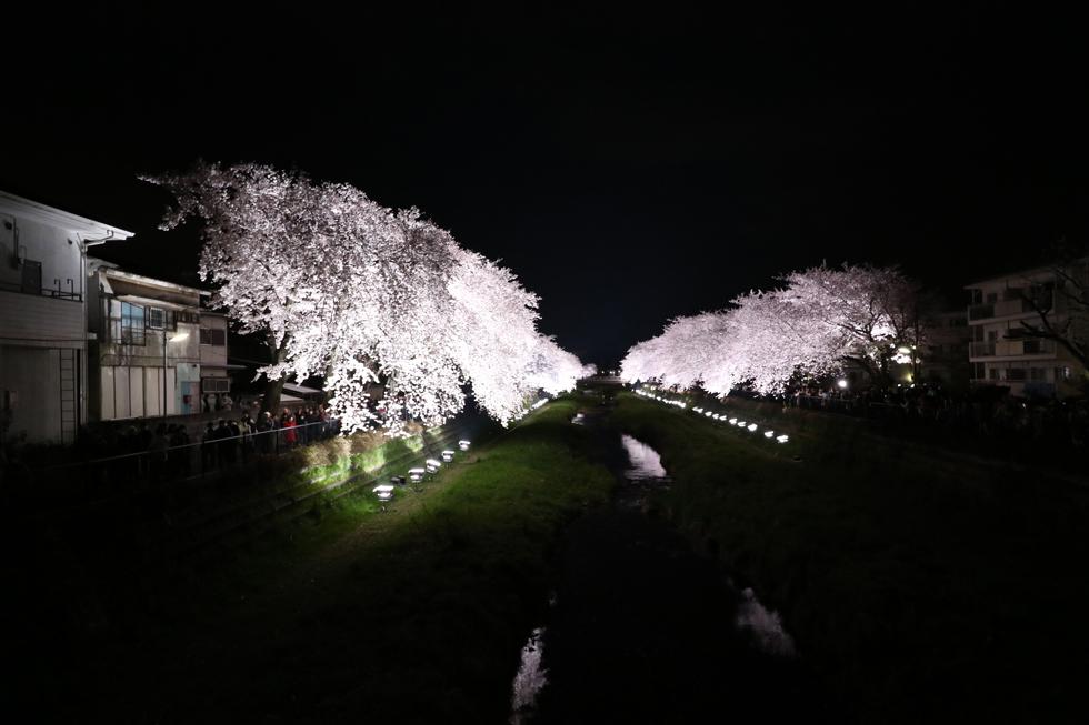 野川の桜ライトアップ2015 【調布市】動画あり(7D MARK Ⅱ)