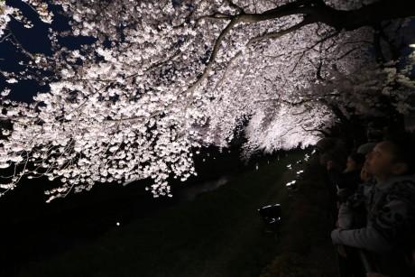 sakura-nogawa2015-chofu04